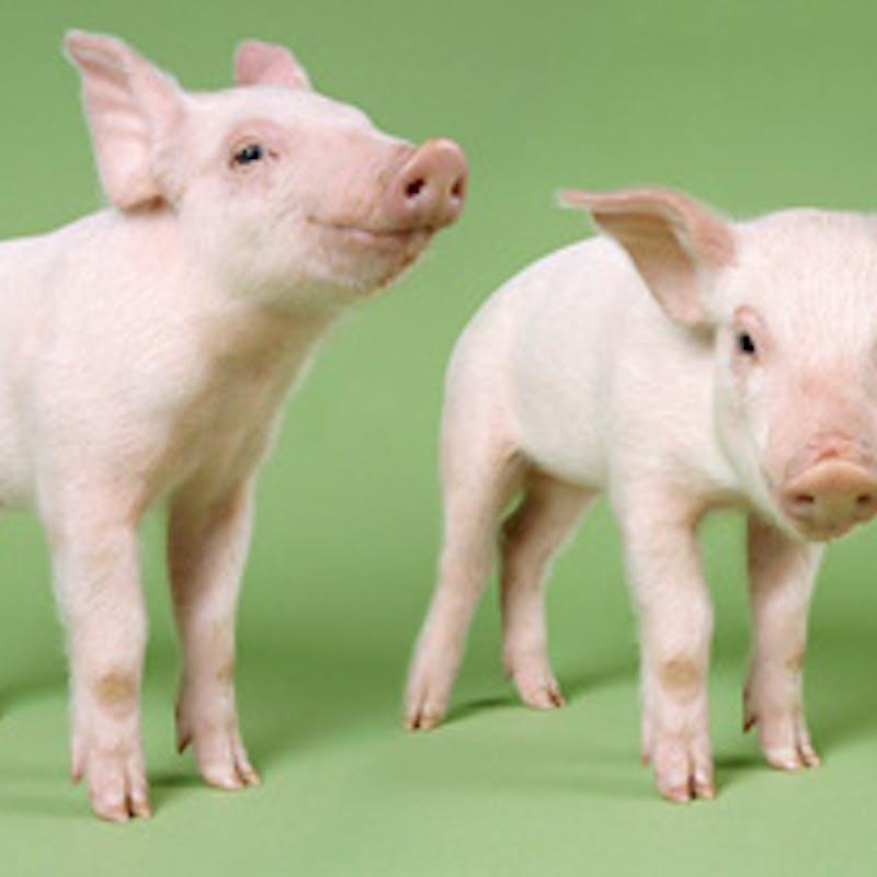 Porc contaminé à la dioxine : quel risque ?