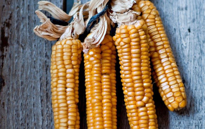 Le Conseil d'État annule l'arrêté interdisant le maïs génétiquement modifié MON 810
