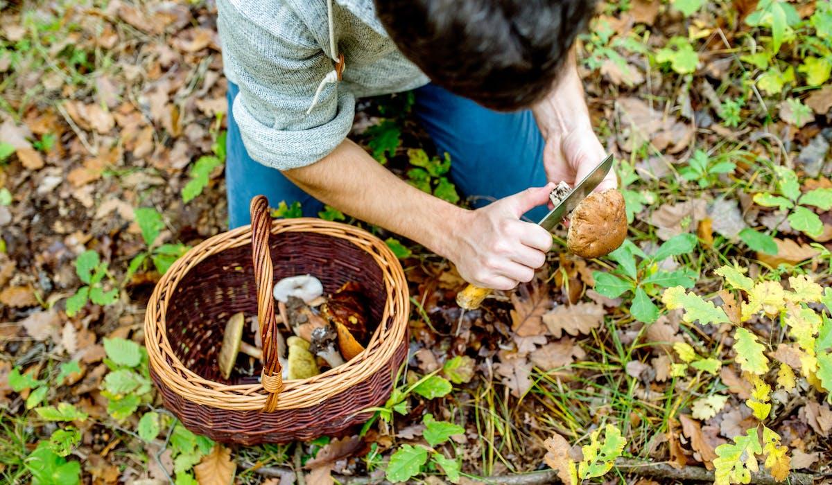 La cueillette des champignons n'est pas libre mais très réglementée.