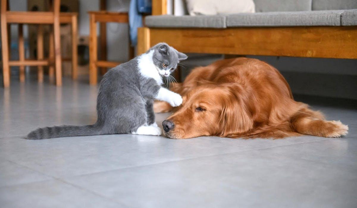 Un jeune chat joue avec un golden retriever