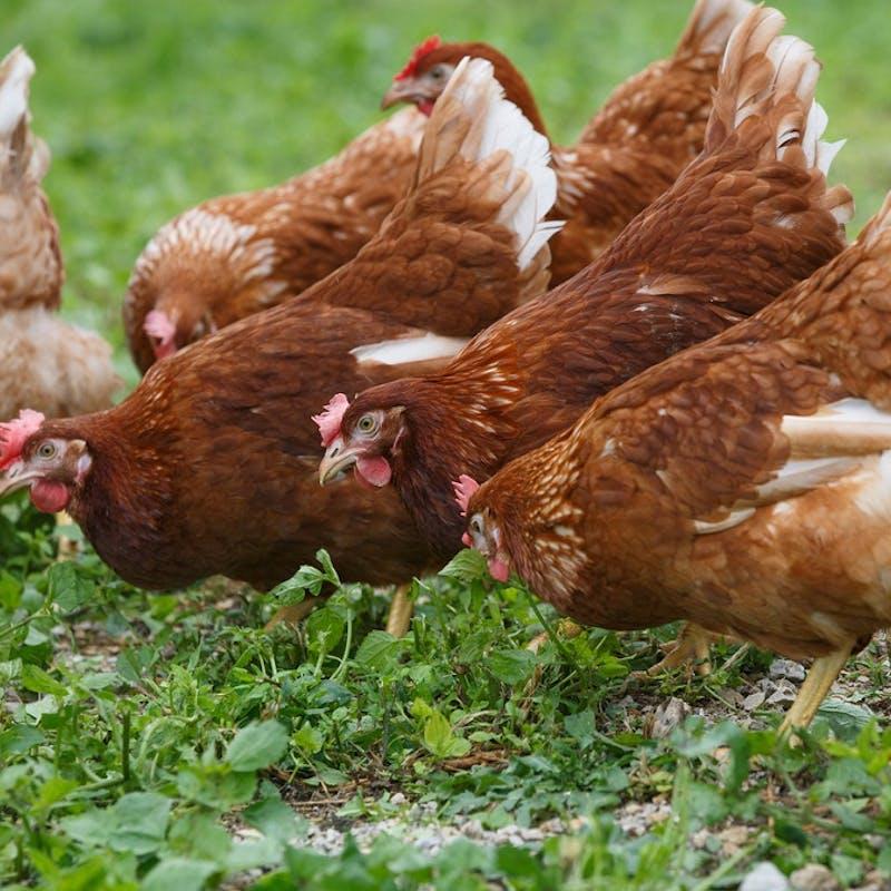 Viande de volaille : quand les professionnels vous mentent
