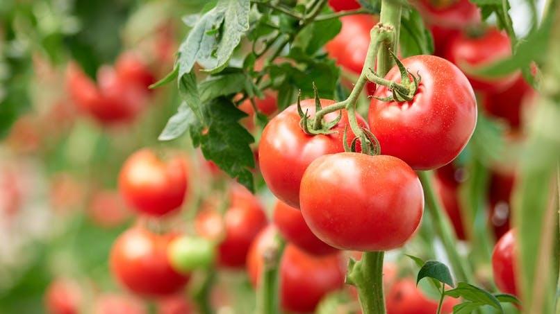 Virus de la tomate : comment le repérer ?