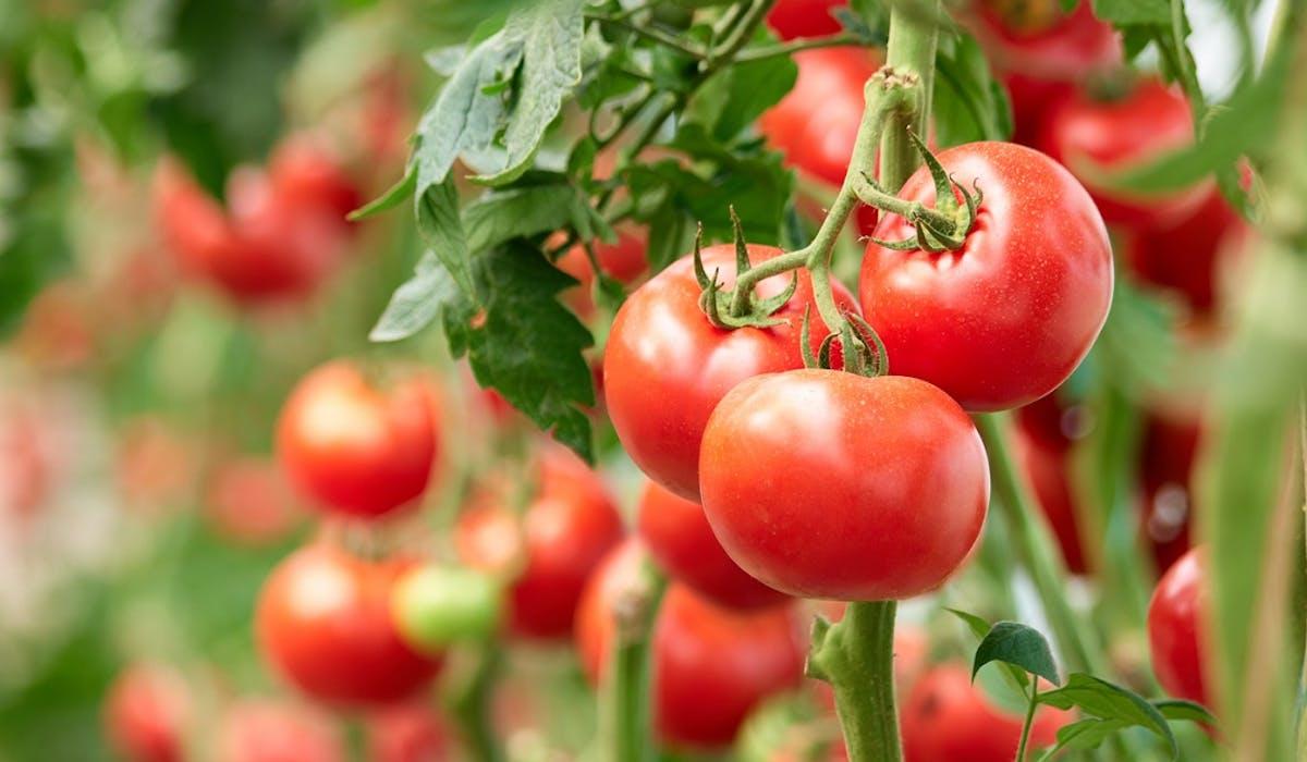 Virus de la tomate : un risque de propagation par les jardiniers ...