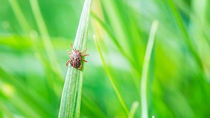 Maladie de Lyme : gare aux piqûres de tiques dans les jardins !