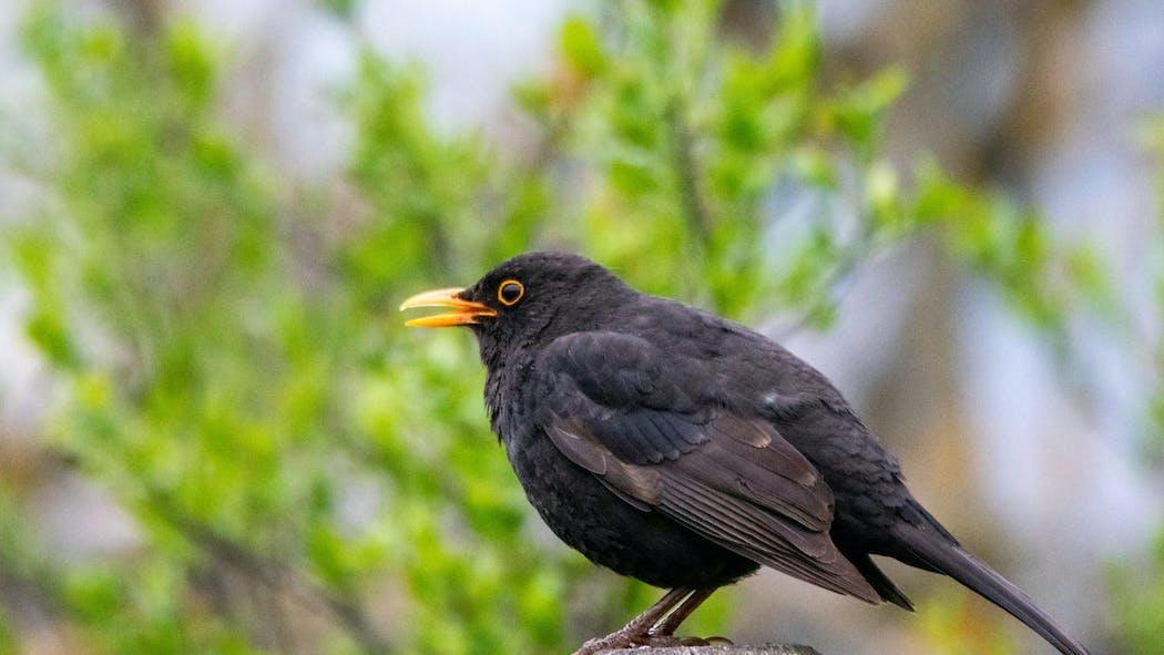 Le gouvernement compte permettre à nouveau les chasses traditionnelles d'oiseaux